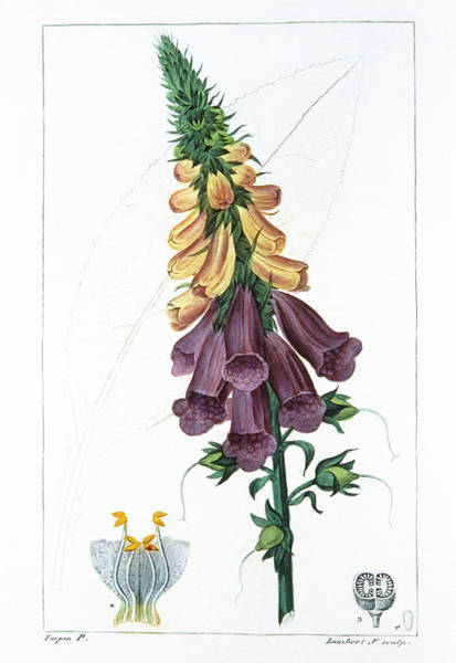 Foxglove Photograph - Engraving Of Foxglove Flower by Cnri/science Photo Library