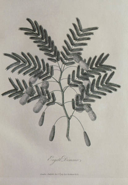 Mimosas Photograph - Engraving Of Leaves And Flowers Of Mimosa by George Bernard/science Photo Library