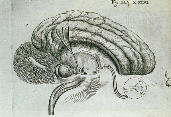 Wall Art - Photograph - Engraving Of Visual Activity Of The Brain And Eyes by George Bernard/science Photo Library