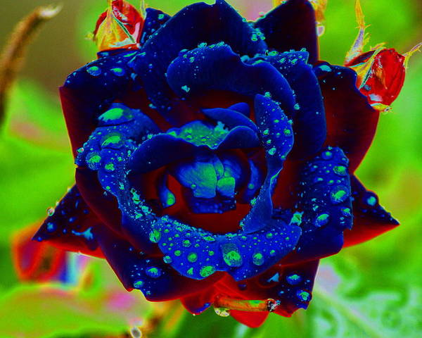Photograph - Enhanced Rose With Dewdrops by Ben Upham III