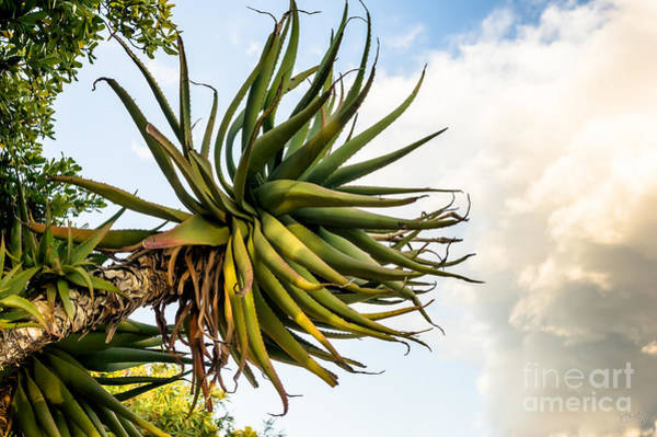 Photograph - Enormous Aloe by Prints of Italy