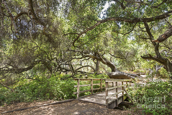 Coast Live Oak Photograph - Enter Wonderland - The Magical And Mysterious Trees Of The Los Osos Oak Reserve by Jamie Pham