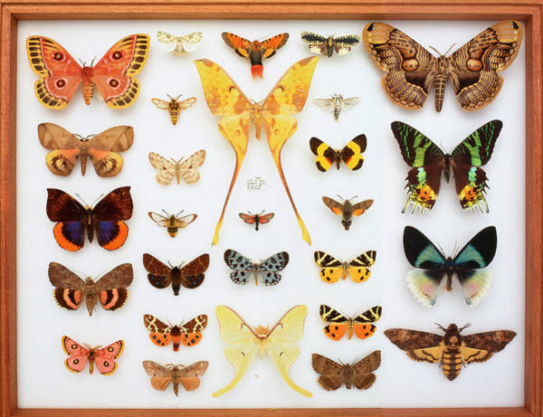 Biodiverse Wall Art - Photograph - Entomological Specimens Of Lepidoptera by Natural History Museum, London
