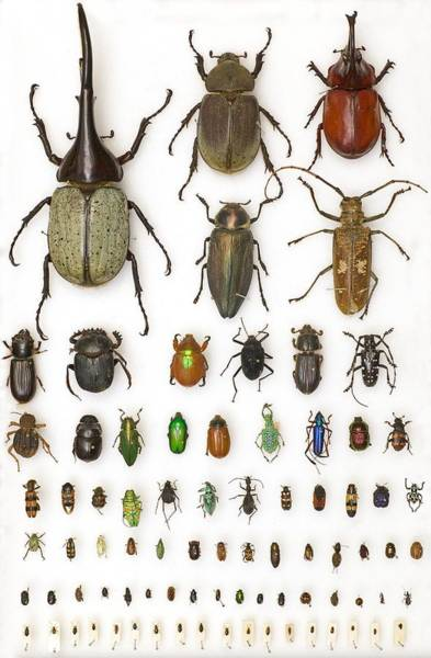 Biodiverse Wall Art - Photograph - Entomology Collection, Mounted Specimens by Science Photo Library