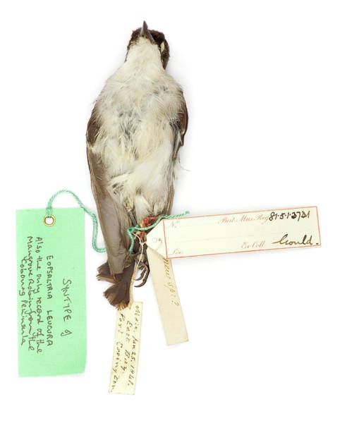 Passeriformes Photograph - Eopsaltria Leucura by Natural History Museum, London