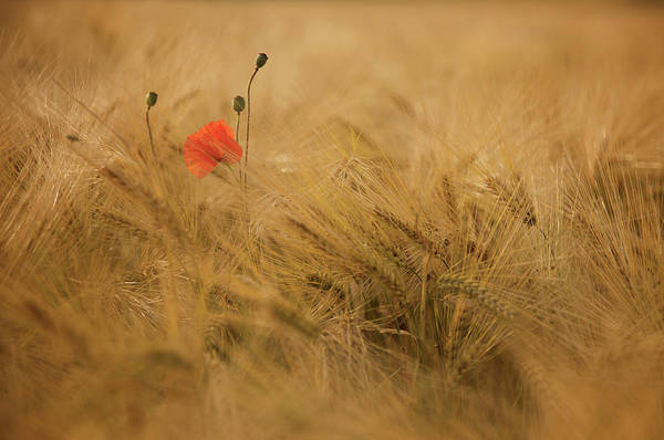 Red Flower Photograph - Ephemeral by Thierry Draus