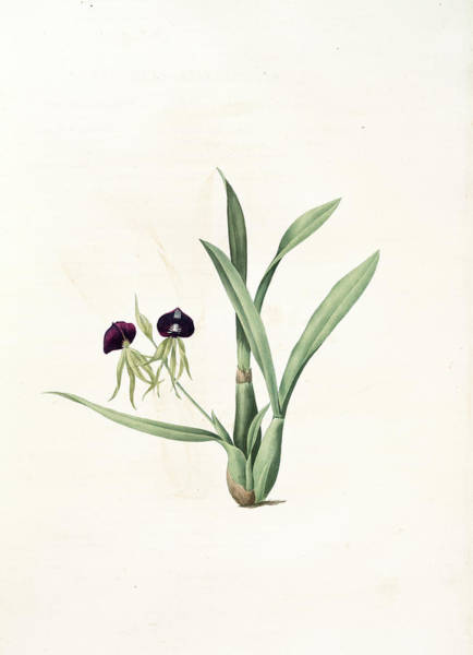 Orchid Drawing - Epidendrum Cochleatum, Ail à Fleurs Pendantes, Clamshell by Artokoloro