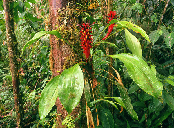 Bromeliad Photograph - Epiphytic Bromeliad Plants by Dr Morley Read/science Photo Library