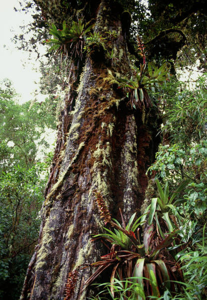 Carrillo Photograph - Epiphytic Plants by Jiri Loun/science Photo Library