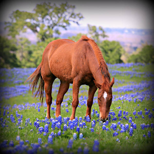 Beautiful Horse Wall Art - Photograph - Equine Bluebonnets by Stephen Stookey