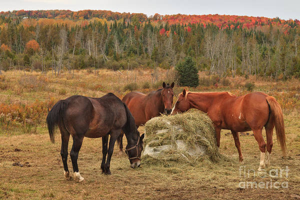 Photograph - Equine Lunchtime by Charles Kozierok