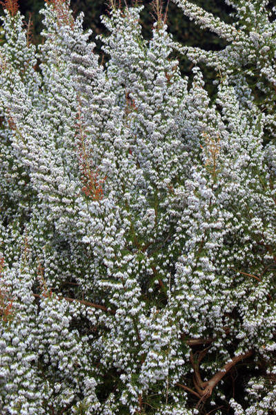 Heath Photograph - Erica X Veitchii 'exeter' by Neil Joy/science Photo Library