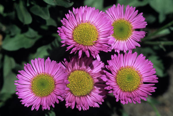 Breeze Photograph - Erigeron 'sea Breeze' by Ann Pickford/science Photo Library