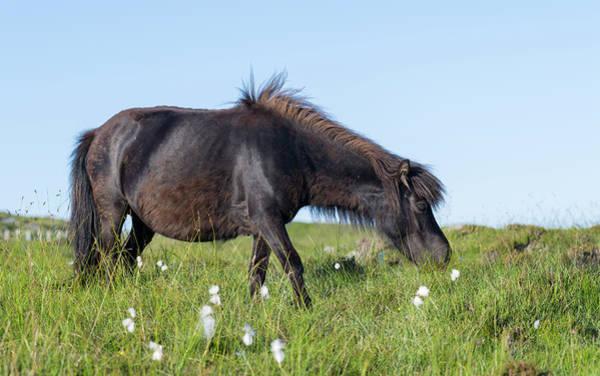 Eriskay Wall Art - Photograph - Eriskay Pony A Rare Breed Of Pony by Martin Zwick
