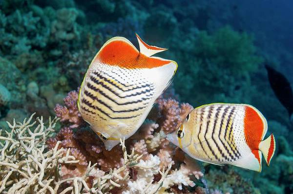 Ichthyology Wall Art - Photograph - Eritrean Butterflyfish On A Reef by Georgette Douwma