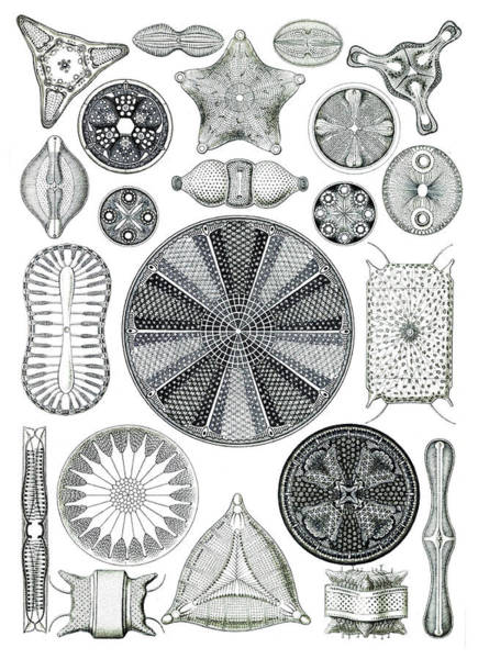 Photograph - Ernst Haeckel, Diatoms, Microalgae by Science Source