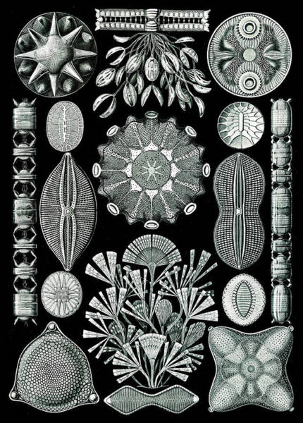 Photograph - Ernst Haeckel, Diatoms by Science Source