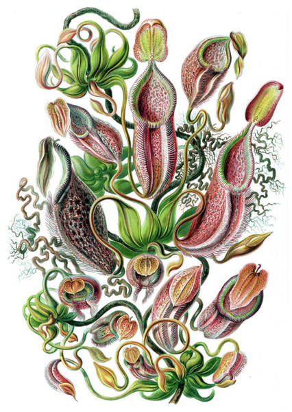 Wall Art - Photograph - Ernst Haeckel, Nepenthes, Tropical by Science Source