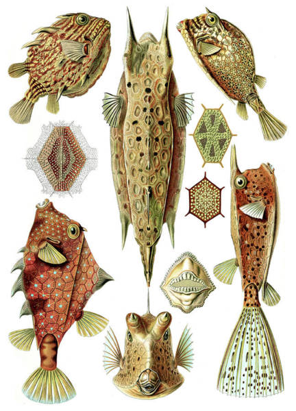 Wall Art - Photograph - Ernst Haeckel, Ostraciidae, Boxfish by Science Source