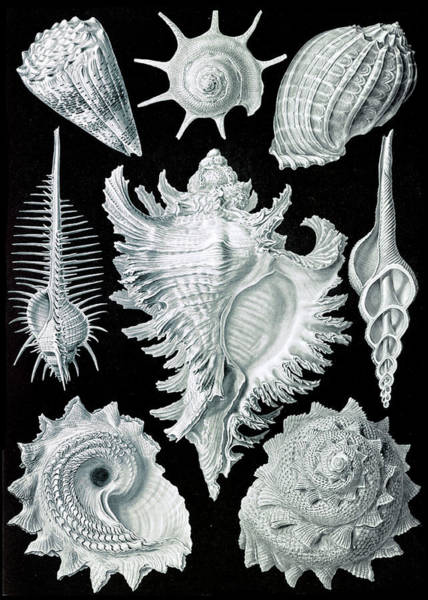 Wall Art - Photograph - Ernst Haeckel, Prosobranchia, Gastropod by Science Source