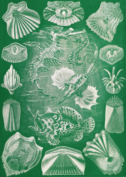 Wall Art - Photograph - Ernst Haeckel, Teleostei, Ray-finned by Science Source