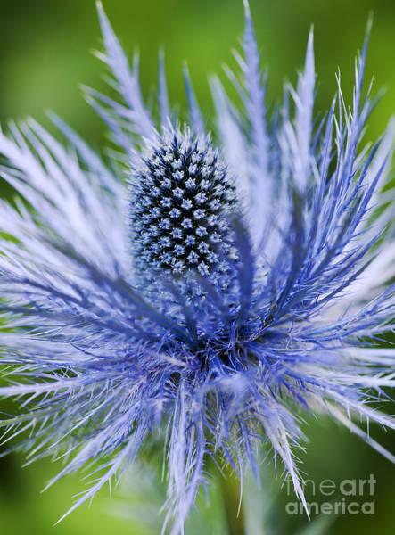 Silvery Photograph - Eryngium Alpinum Superbum by Tim Gainey