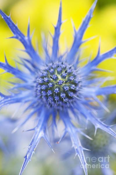 Oliver Photograph - Eryngium X Oliverianum Flower by Tim Gainey