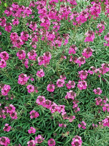 Mauve Photograph - Erysimum 'bowles Mauve' by Geoff Kidd/science Photo Library