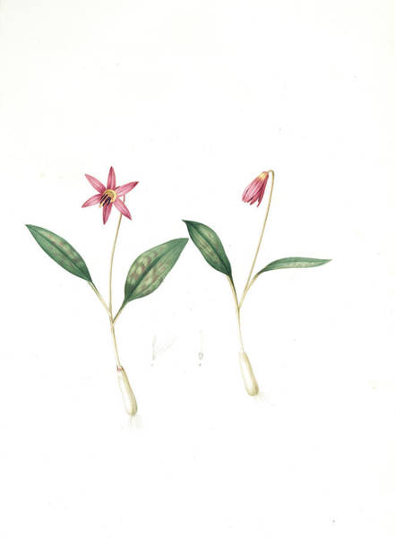Chien Drawing - Erythronium Dens-canis, Erythronium Dens Canis  Erythrone by Artokoloro