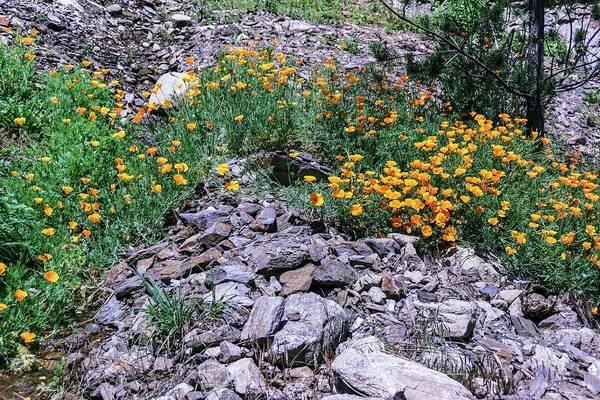 California Poppy Photograph - Eschacholzia Californica Flowers by Brian Gadsby
