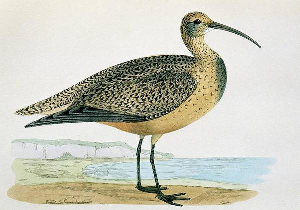 Canadian Fauna Photograph - Eskimo Curlew by George Bernard/science Photo Library