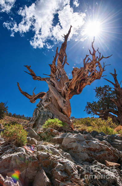 Tree Bark Wall Art - Photograph - Eternity - Dramatic View Of The Ancient Bristlecone Pine Tree With Sun Burst. by Jamie Pham
