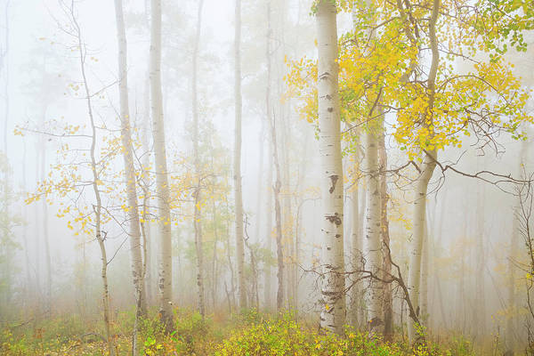 Aspen Photograph - Ethereal Autumn Aspens In Fog by Dszc