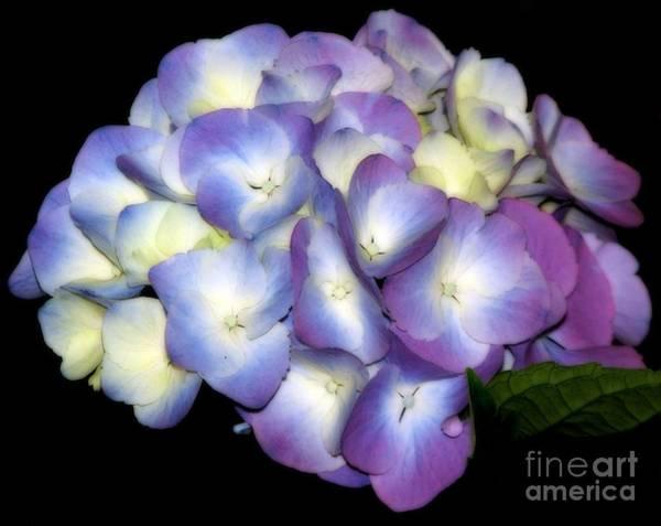 Photograph - Ethereal Soft Purple Hydrangea Flower by Rose Santuci-Sofranko