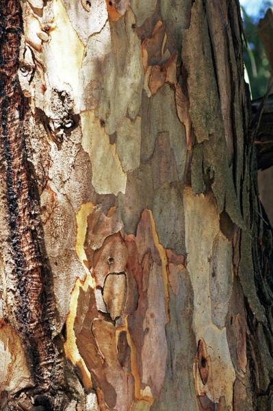 Eucalyptus Photograph - Eucalyptus Camaldulensis by Brian Gadsby/science Photo Library
