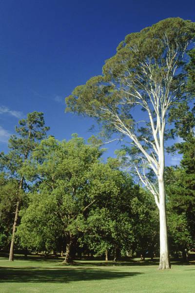 Eucalyptus Photograph - Eucalyptus Citriodora. by Sylvia O'toole/science Photo Library