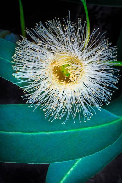 Photograph - Eucalyptus by Edgar Laureano
