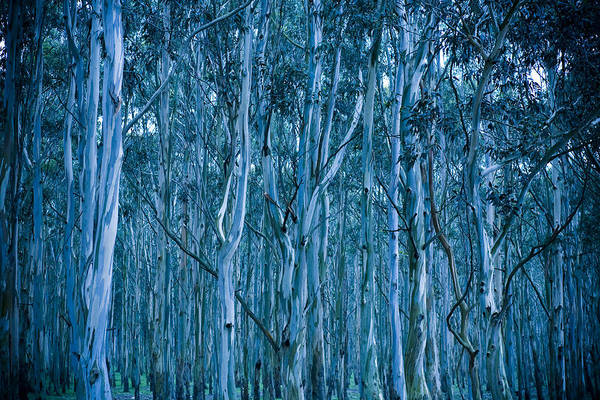 Forestry Photograph - Eucalyptus Forest by Frank Tschakert