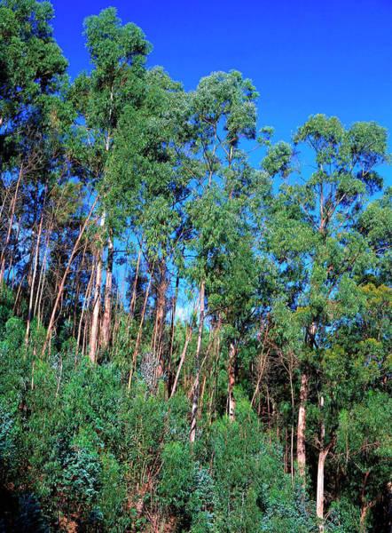 Eucalyptus Photograph - Eucalyptus Globulus. by Bjorn Svensson/science Photo Library