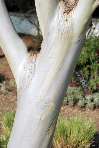 Peeling Photograph - Eucalyptus Paucifolia Niphophyla by Mike Comb/science Photo Library