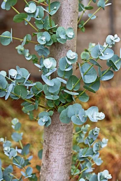 Eucalyptus Photograph - Eucalyptus Perriniana by Dan Sams/science Photo Library