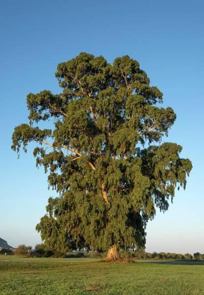 Eucalyptus Photograph - Eucalyptus Tree by David Parker/science Photo Library