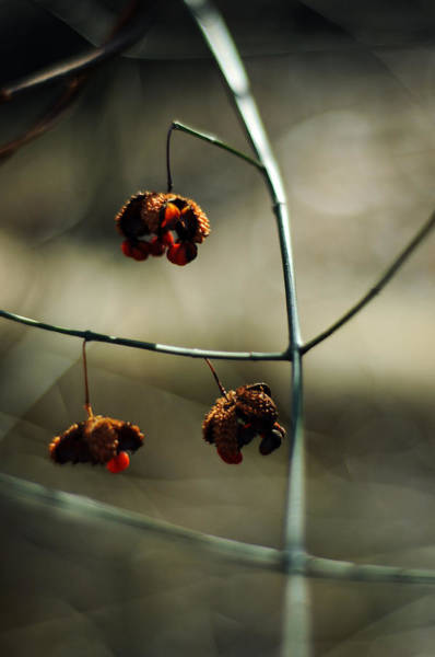 Photograph - Euonymus Americanus  Winter Form by Rebecca Sherman