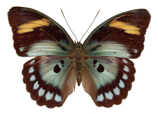 Wall Art - Photograph - Euphaedra Francina Butterfly by Natural History Museum, London/science Photo Library