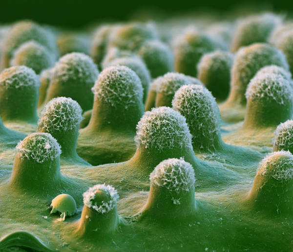 Wall Art - Photograph - Euphorbia, Leaf Surface, Sem by Eye of Science