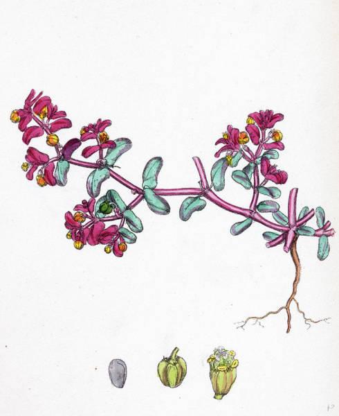 Wall Art - Drawing - Euphorbia Peplis Purple Spurge by English School