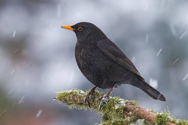 Vertebrata Photograph - Eurasian Blackbird And Snowfall Germany by Helge Schulz