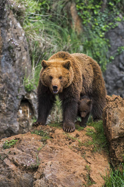 Photograph - Eurasian Brown Bear 14 by Arterra Picture Library