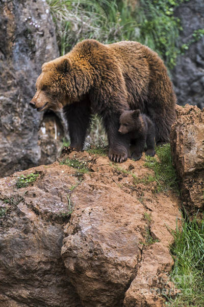 Photograph - Eurasian Brown Bear 15 by Arterra Picture Library