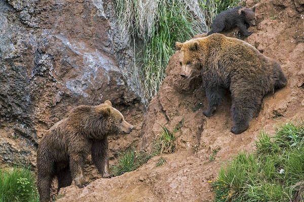 Photograph - Eurasian Brown Bear 17 by Arterra Picture Library